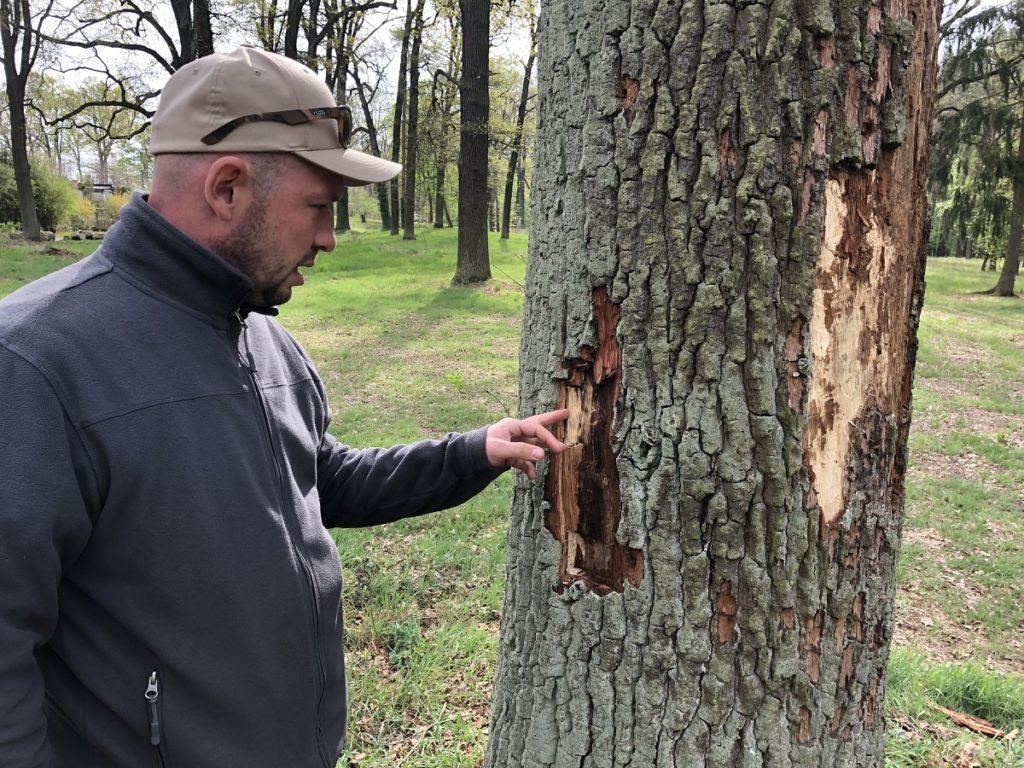 • Baumpfleger Kai Stöckel zeigt eine durch Komplexerkrankung und Prachtkäfer schwer geschädigte Eiche im Branitzer Park
