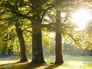 Drei alte Buchen im Branitzer Park im Sonnenschein