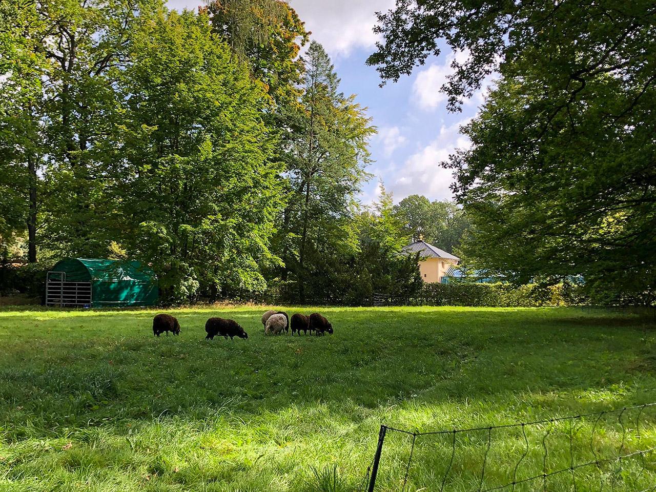 Eine kleine Schafherde mit sieben Schafen weidet auf einer Wiese vor der Schlossgärtnerei im Branitzer Park.